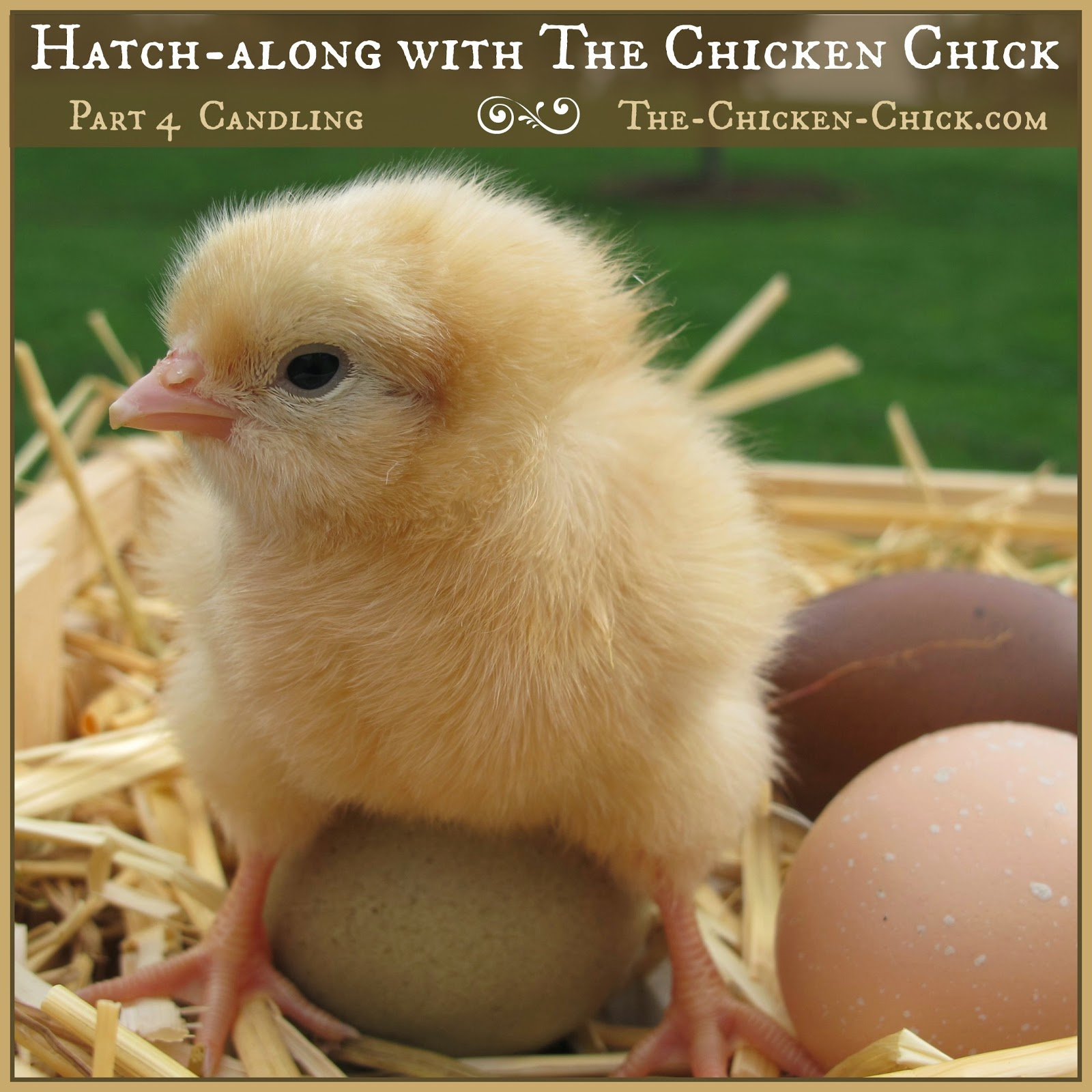 The Chicken Chick®: Hatch-along with The Chicken Chick: Part 4: Egg Candling
