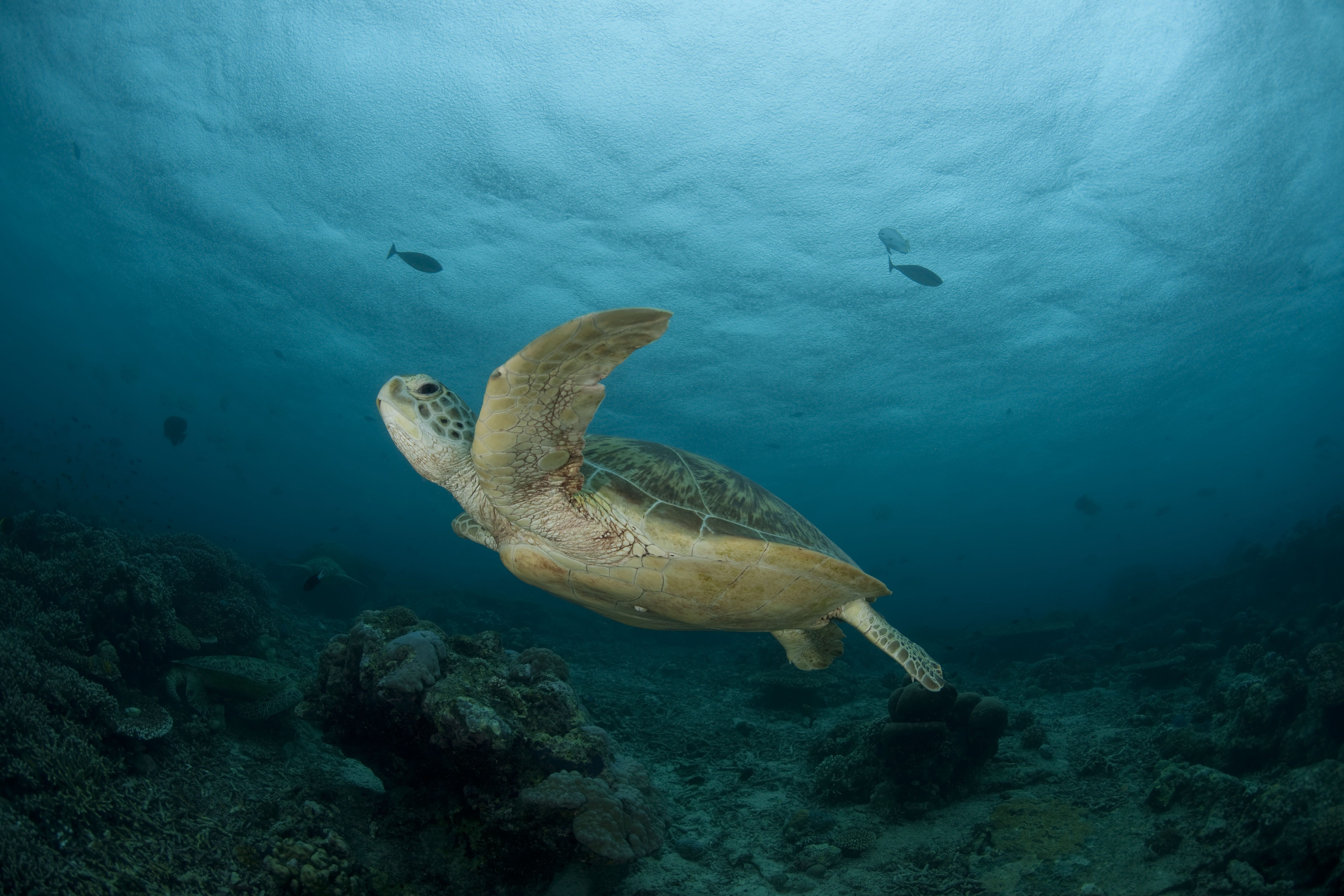 Green Turtle | Sea Turtles | Species | WWF