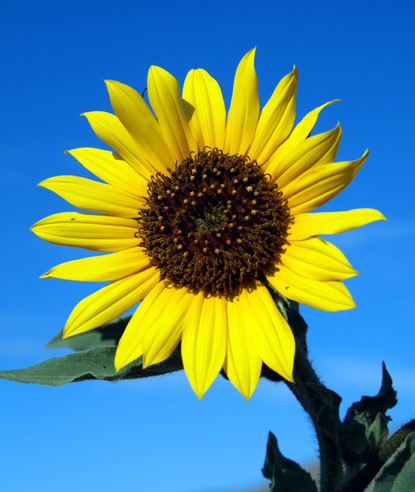 Why do sunflowers grow taller than other flowers? by Madi Jags