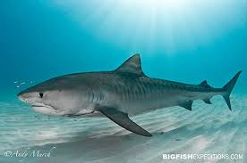 The tiger shark live on the bottom of the sea almost., Th... by Kaitlyn