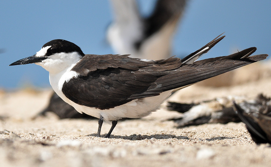 The sooty tern nests in Hawaii. And their habitats are ma... by raylyn