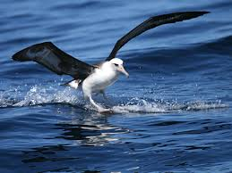 The Laysan Albatross is black and white with a long orang... by Sha'Maiya