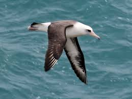 The laysan albatross is usually black and white body with... by Brad