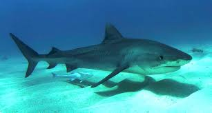 The Tiger Shark lives in the warm tropical and subtropica... by Jasmine