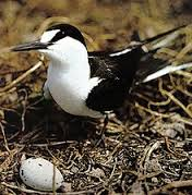 The Sooty Tern they live on warm tropical seas. But most ... by Emely