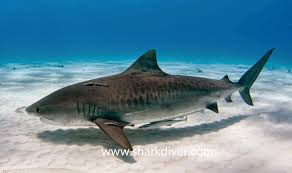 Tiger sharks are huge so they need a lot of free space. T... by Maria