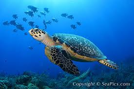 Sea turtles are one of the world's most ancient creatures... by Maria
