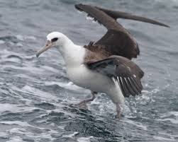 Paragraph:The laysan albatross is a bird that lives on an... by Jonathan
