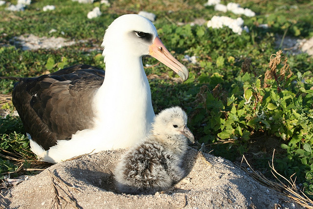 Laysan albatross have a white head,neck and underbody.The... by Cesar