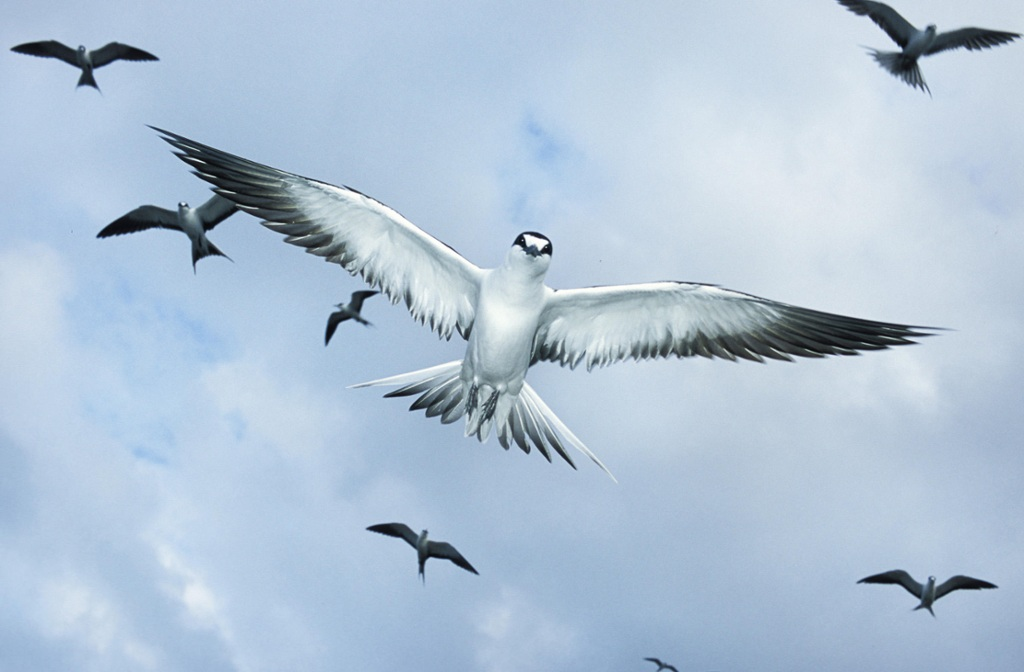 The Sooty Tern by Timothy