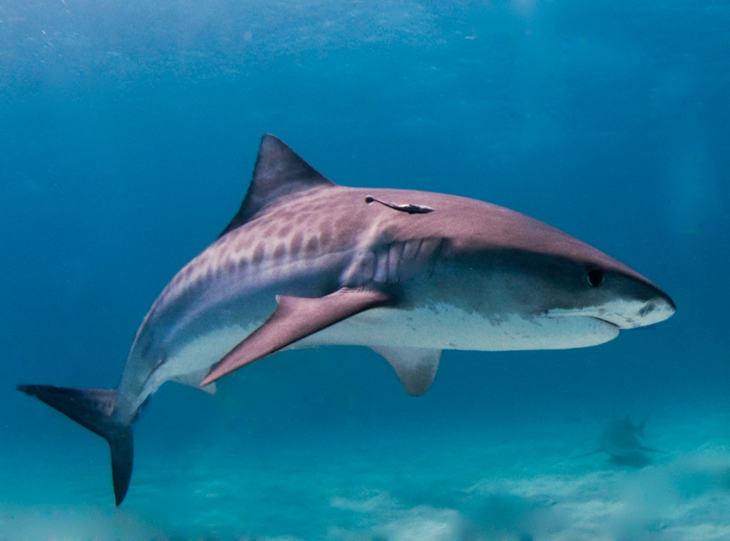 NAME OF: Tiger sharks are named for the dark, vertical st... by Timothy