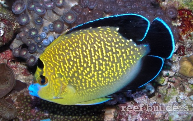 Angelfish by Anderson