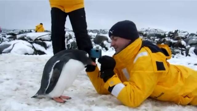 Inquisitive Gentoo Penguin