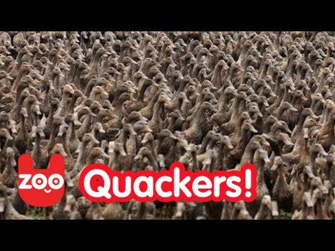 '5000 Ducks Go For A Walk!' on ViewPure