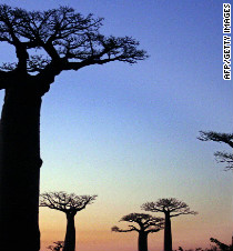 Madagascar's bid to save its majestic baobab trees - CNN.com
