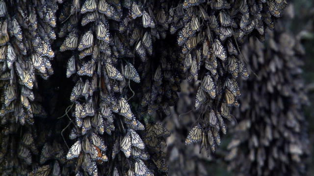 Life: Monarch Butterfly Winter Migration : Video : Discovery Channel