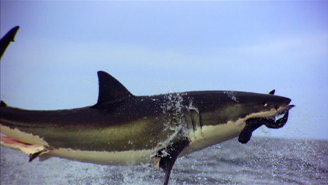 Shark Week: Great White Sharks Jumping : Video : Discovery Channel