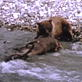 Killer Clips: Grizzly Bear vs. Caribou : Video : Animal Planet