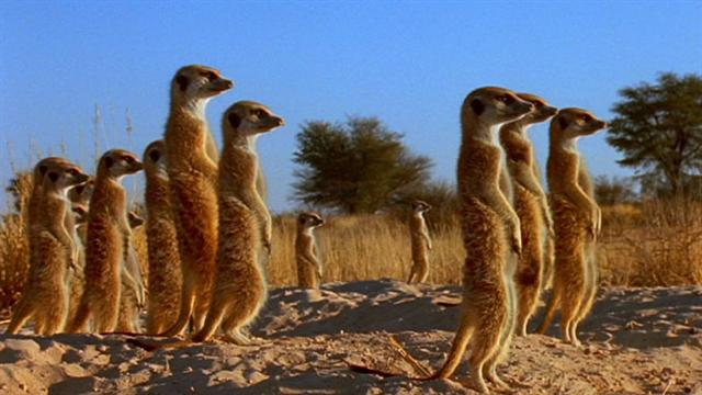 World's Deadliest: Meerkat Mob