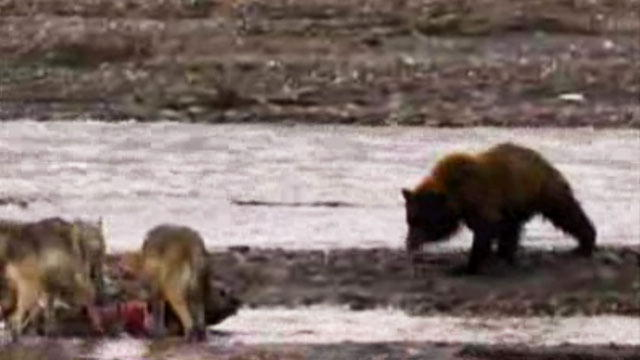 Top 25 Grizzly Bear Videos