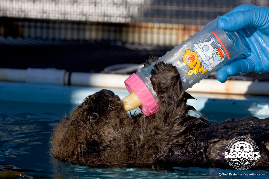 the awesome sea otter