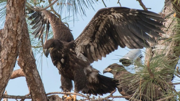 SW Florida Bald Eagles: Fledge Watch!