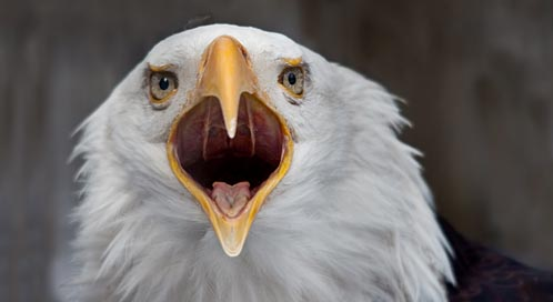 Basic Facts About Bald Eagles