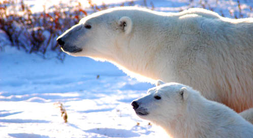 Basic Facts About Polar Bears