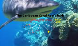 Apex Predators-The Carrabien Coral Reef Shark