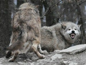 The Gray Wolf Sounds and Downloads