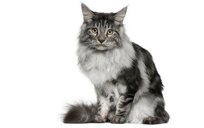 Maine Coon Cat Breed Information, Pictures, Characteristics & Facts