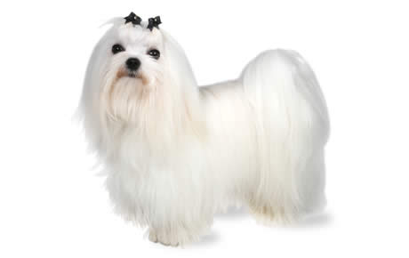 Maltese Dog Breed Information, Pictures, Characteristics & Facts – Dogtime