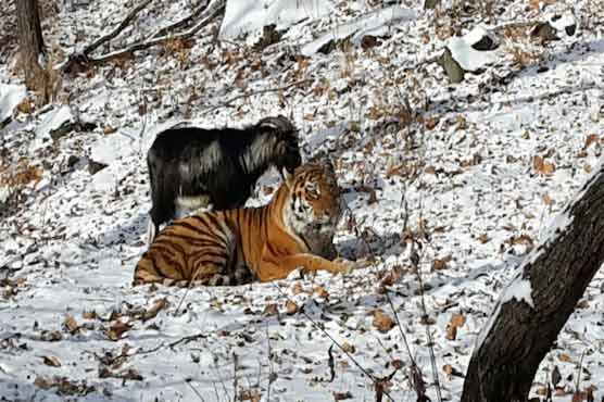 Russian Zoo Tiger Becomes Best Pals With Goat That Was Served For Dinner