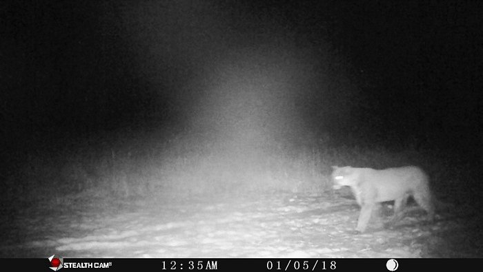 Cougar presence in Wisconsin carries into 2018