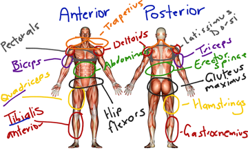 Muscular System | Educreations