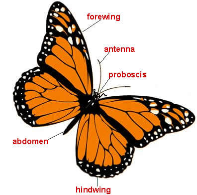 Butterflies and Moths Facts