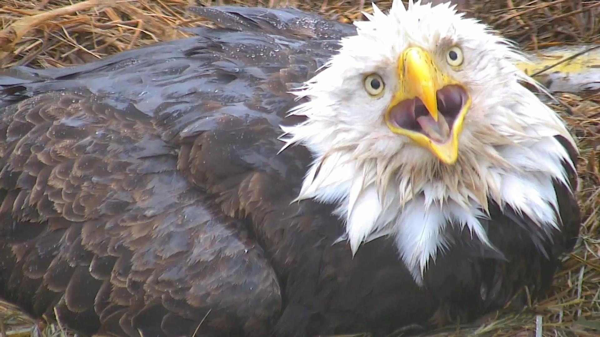 Decorah Eagles Live Cam - nesting bald eagles | Explore.org