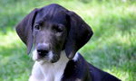 Puppy Hill - Great Dane Service Puppies