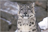 Snow leopard plush | Donation thank you gift | Adoptions from WWF