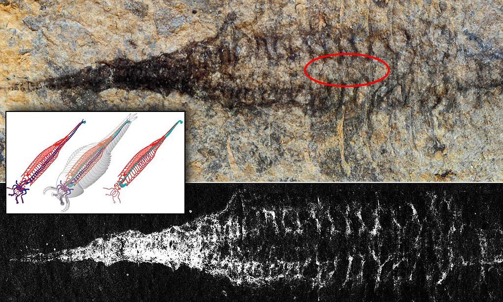Earliest cardiovascular system discovered - it's 520million years old