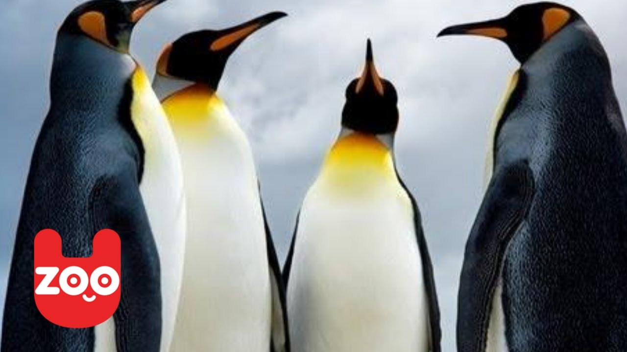 Penguins Rescued from Oil Spill