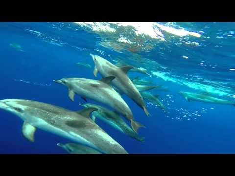 Swimming with wild dolphins - Atlantic Ocean - Safeshare.TV