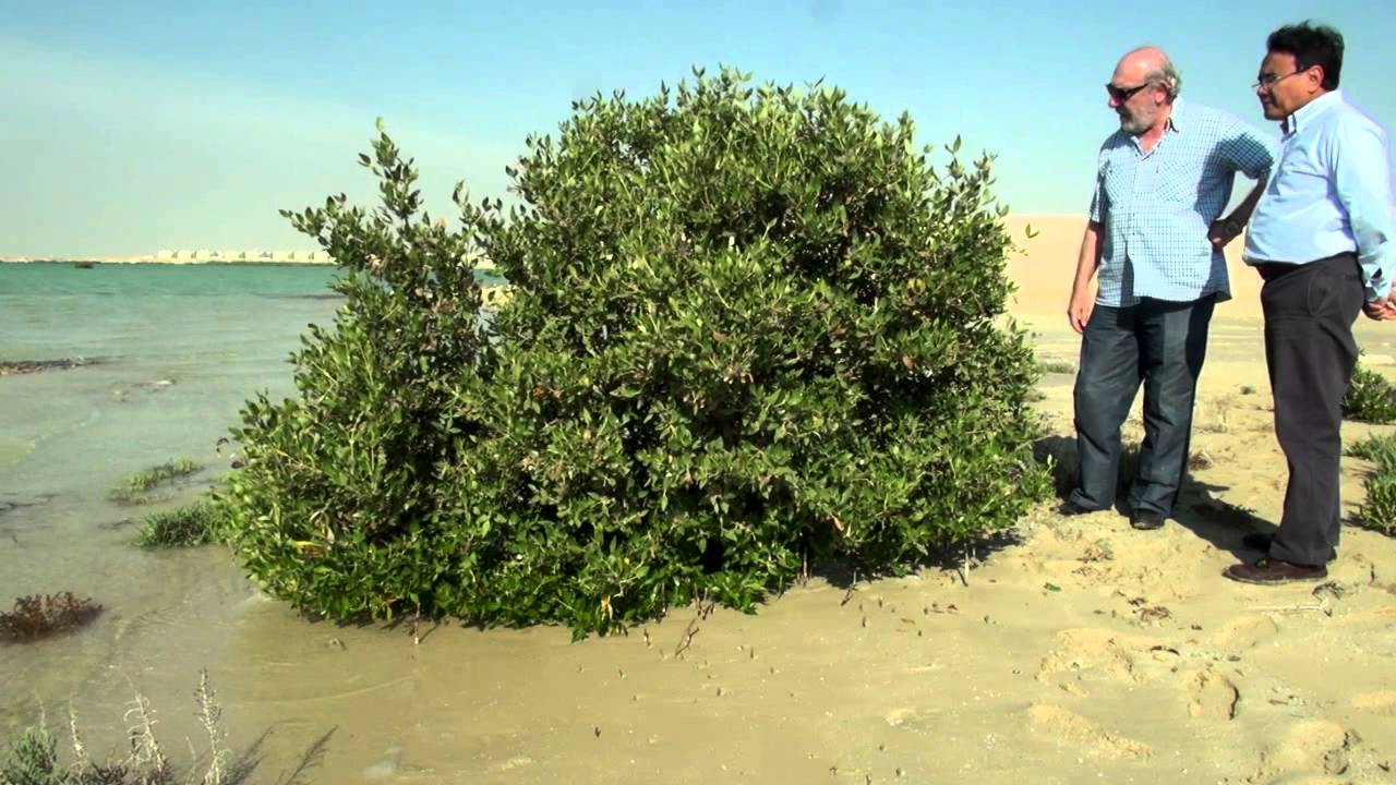 Qatar's Mangroves: Why they matter for climate change