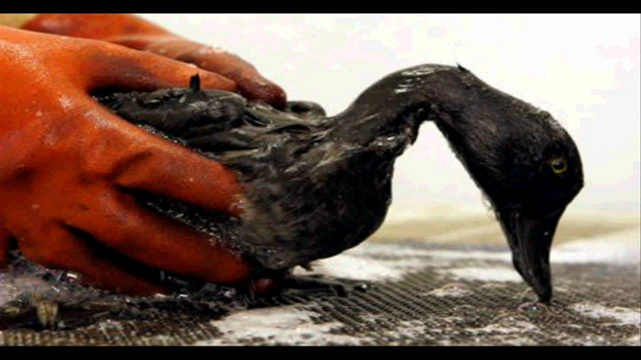 Oil Spills Affecting Marine Life