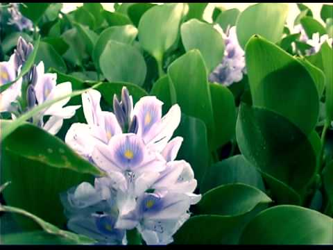 Water Hyacinth - A Very Wicked Plant