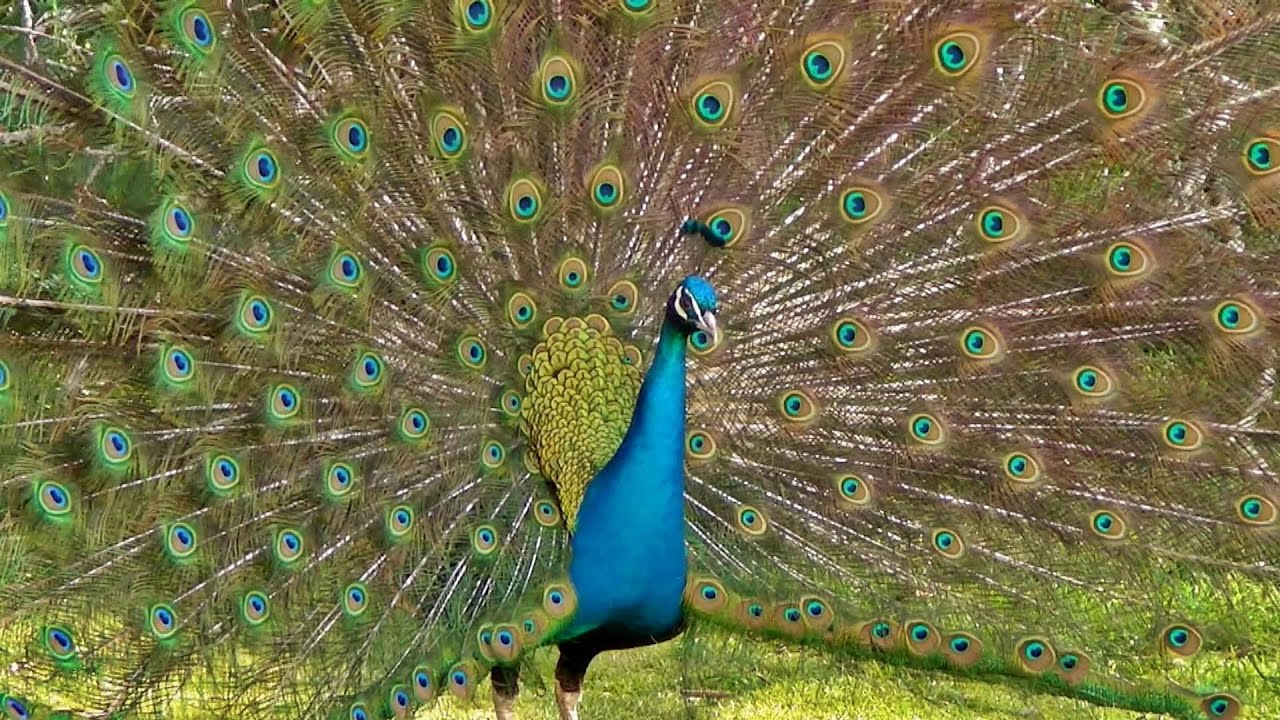 The Most Magnificent Peacock Dance Display Ever - Peacocks Opening Feathers HD & Bird Sound