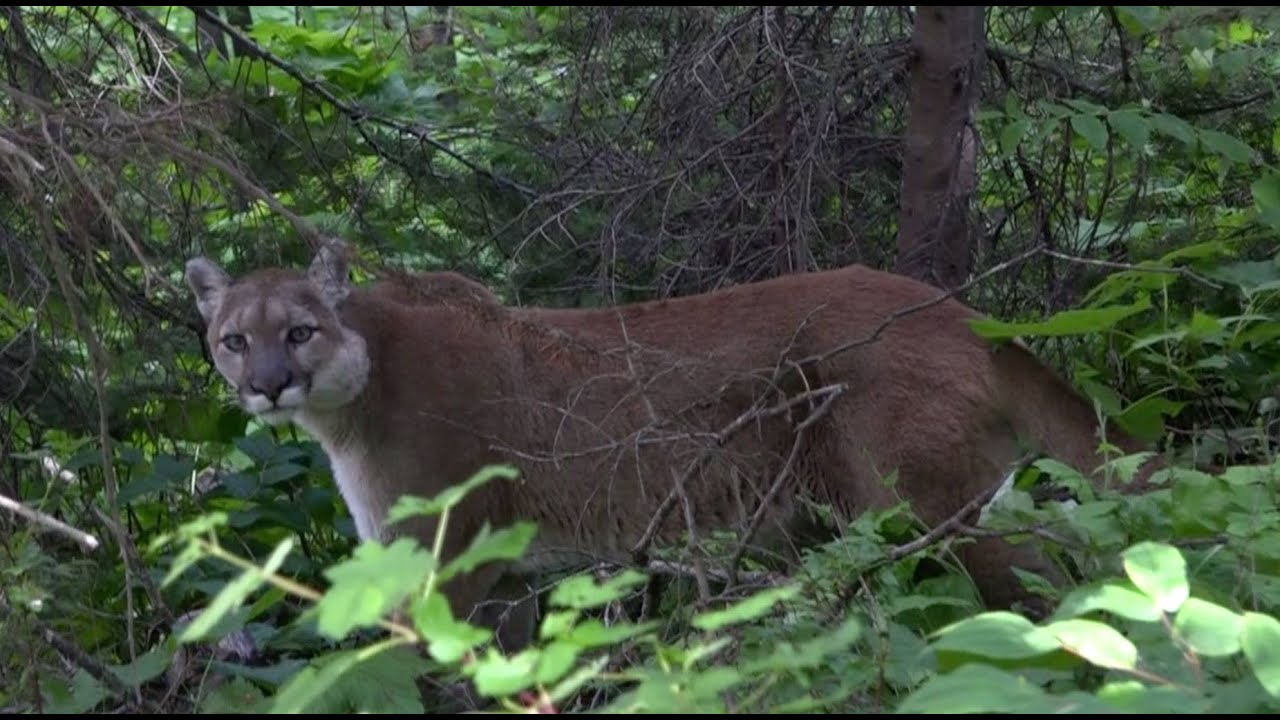 Mountain Lion Stand Off With Hiker