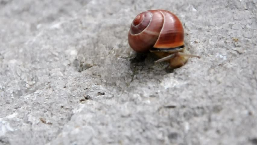 Snail Withdrawing Into Its Shell After A Short Venture Out Stock Footage Video 438349 - Shutterstock