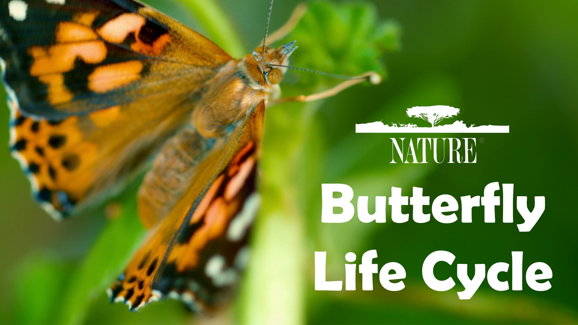 Butterfly Life Cycle | PBS LearningMedia