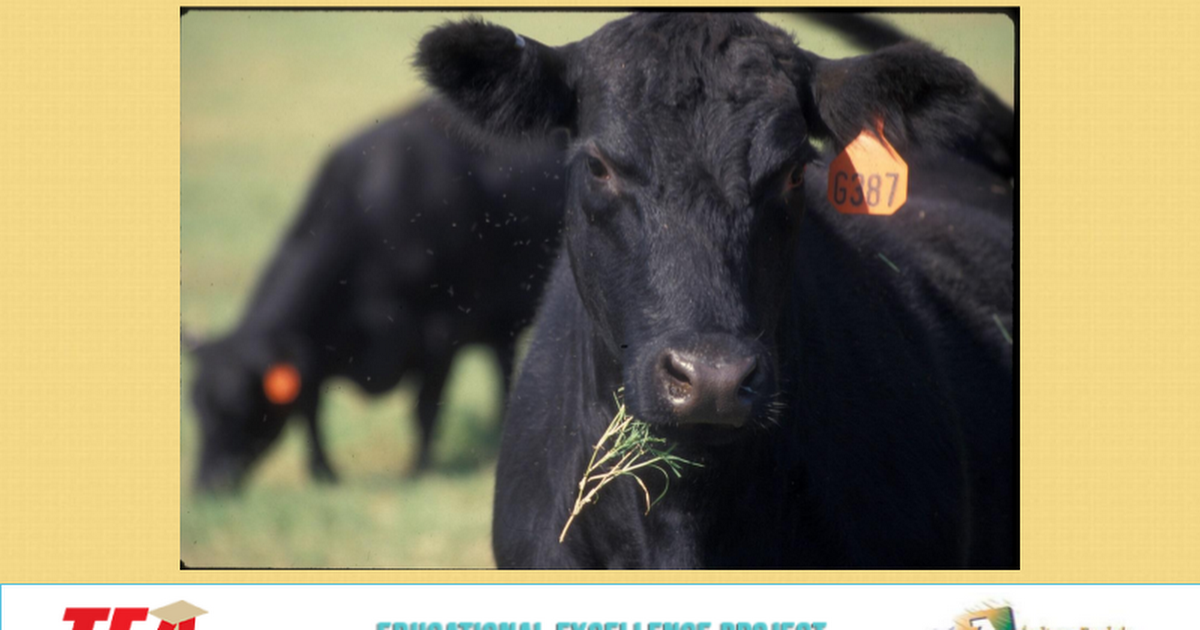 Beef Cattle Breeds PPT